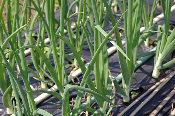 フキ収穫、キャラブキに、ゴーヤの苗植え付け4・25~26_c0014967_112747.jpg