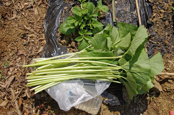 フキ収穫、キャラブキに、ゴーヤの苗植え付け4・25~26_c0014967_154292.jpg