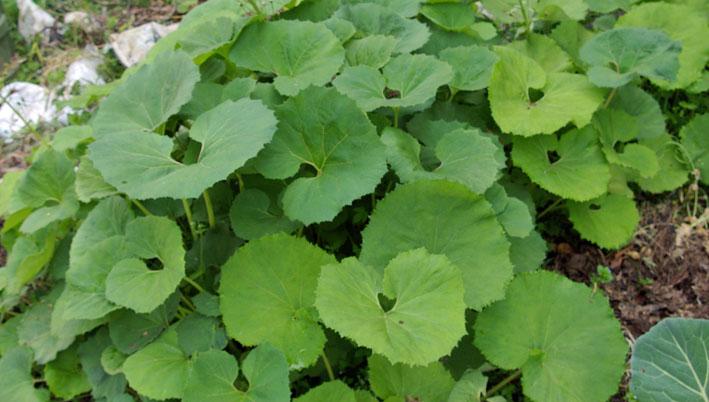 フキ収穫、キャラブキに、ゴーヤの苗植え付け4・25~26_c0014967_164450.jpg