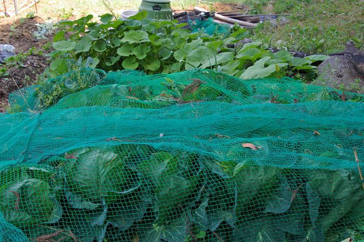 フキ収穫、キャラブキに、ゴーヤの苗植え付け4・25~26_c0014967_17721.jpg