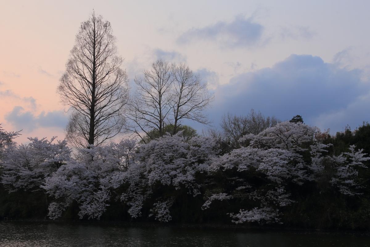 桜 2014 丹波                   _f0021869_21415379.jpg