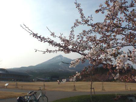 桜が咲いた!_a0096989_6535630.jpg
