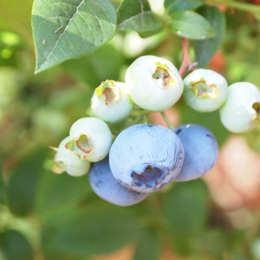 函館産のブルーベリー苗販売します。_a0292194_015044.jpg