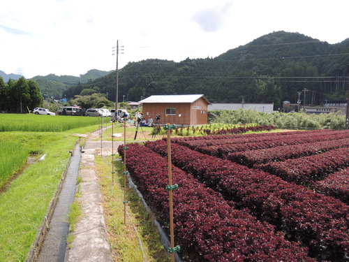 【飛鳥熊レス村】赤シソの苗を植えてみませんか?_c0010936_23391181.jpg