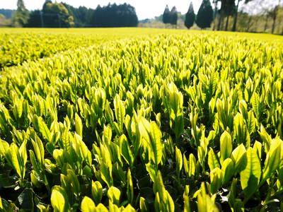 菊池水源茶 新芽の芽吹きと寒冷紗かけ!まもなくお茶摘みです!!_a0254656_17121891.jpg