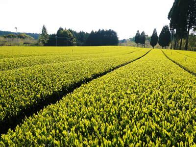 菊池水源茶 新芽の芽吹きと寒冷紗かけ!まもなくお茶摘みです!!_a0254656_17135964.jpg