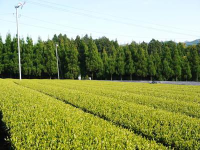 菊池水源茶 新芽の芽吹きと寒冷紗かけ!まもなくお茶摘みです!!_a0254656_17245568.jpg