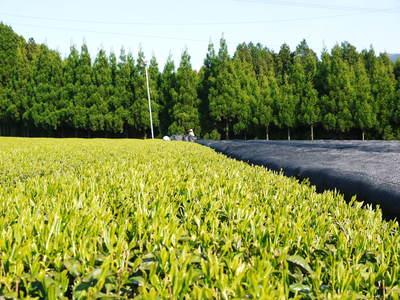 菊池水源茶 新芽の芽吹きと寒冷紗かけ!まもなくお茶摘みです!!_a0254656_1729745.jpg