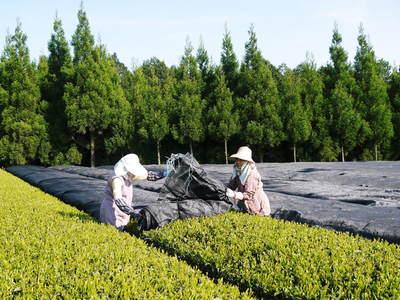 菊池水源茶 新芽の芽吹きと寒冷紗かけ!まもなくお茶摘みです!!_a0254656_17363192.jpg