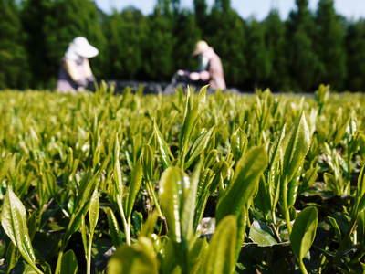 菊池水源茶 新芽の芽吹きと寒冷紗かけ!まもなくお茶摘みです!!_a0254656_17404413.jpg
