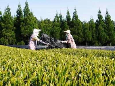菊池水源茶 新芽の芽吹きと寒冷紗かけ!まもなくお茶摘みです!!_a0254656_17465430.jpg