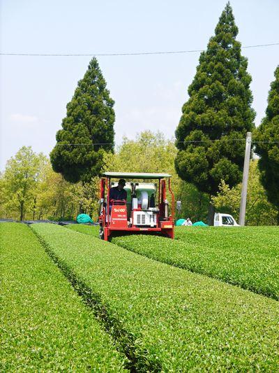菊池水源茶 新芽の芽吹きと寒冷紗かけ!まもなくお茶摘みです!!_a0254656_17592262.jpg