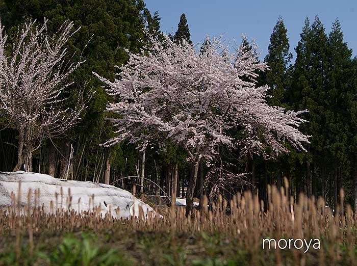 松之山の桜_c0085877_721020.jpg