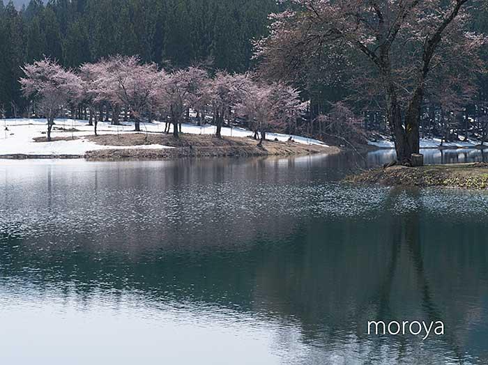 中子の桜_c0085877_7383340.jpg