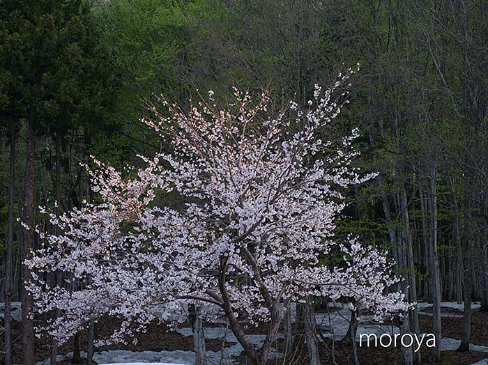 松之山の桜_c0085877_792784.jpg