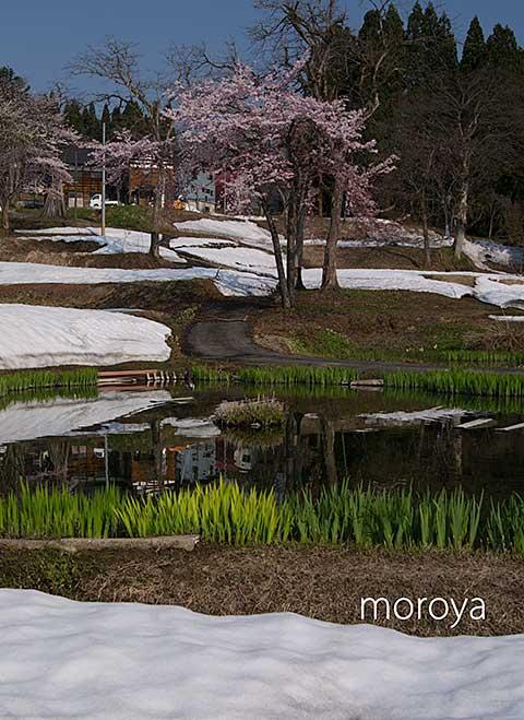 松之山の桜_c0085877_793926.jpg