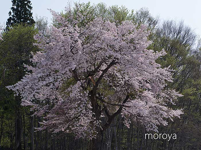 松之山の桜_c0085877_794696.jpg