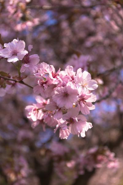 黒田百年桜_e0051888_177175.jpg