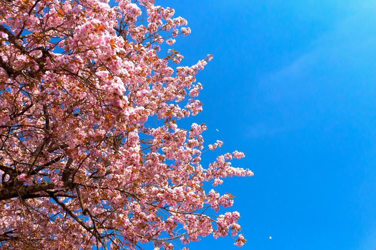 黒田百年桜_e0051888_1774754.jpg