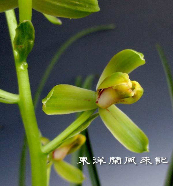 九華「松村慶華梅」                  No.1392_d0103457_044760.jpg