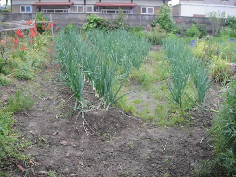 夏野菜の支柱立て_c0108460_20523557.jpg