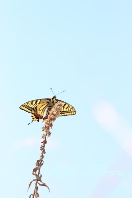 ■■ 蝶のぼり ■■_c0195662_22472865.jpg