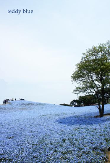 Nemophila blue  ネモフィラの丘_e0253364_2253854.jpg