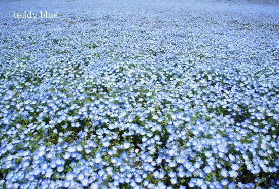 Nemophila blue  ネモフィラの丘_e0253364_2261675.jpg