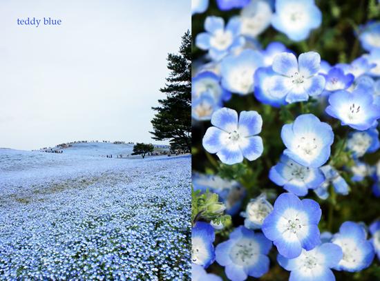 Nemophila blue  ネモフィラの丘_e0253364_226258.jpg