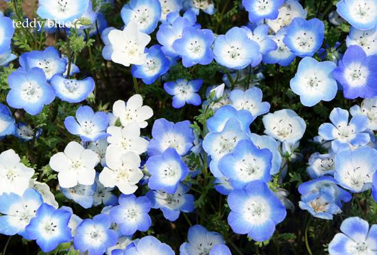 Nemophila blue  ネモフィラの丘_e0253364_226397.jpg