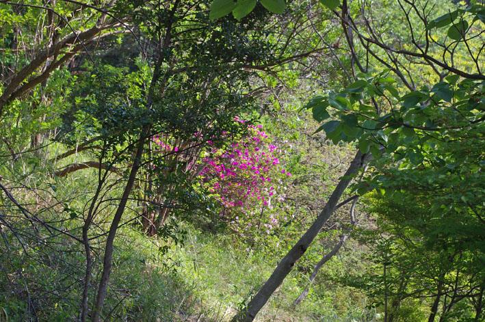 六国見山で手入れ後に復活したツツジの花咲き新緑に彩り_c0014967_17203374.jpg