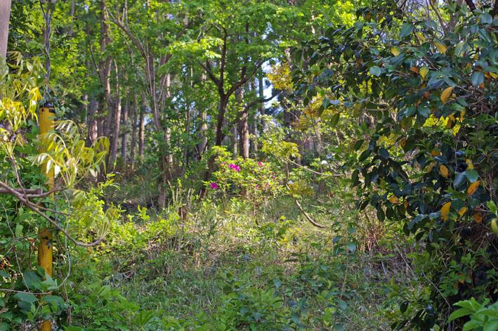 六国見山で手入れ後に復活したツツジの花咲き新緑に彩り_c0014967_17205322.jpg
