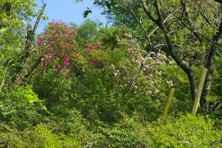六国見山で手入れ後に復活したツツジの花咲き新緑に彩り_c0014967_17211813.jpg