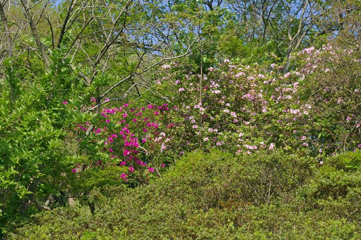 六国見山で手入れ後に復活したツツジの花咲き新緑に彩り_c0014967_17214771.jpg