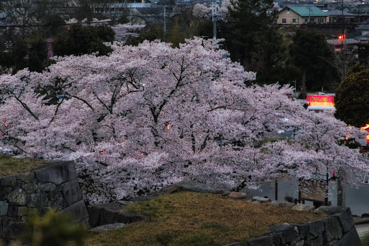 桜 2014 丹波 LAST              _f0021869_23285763.jpg