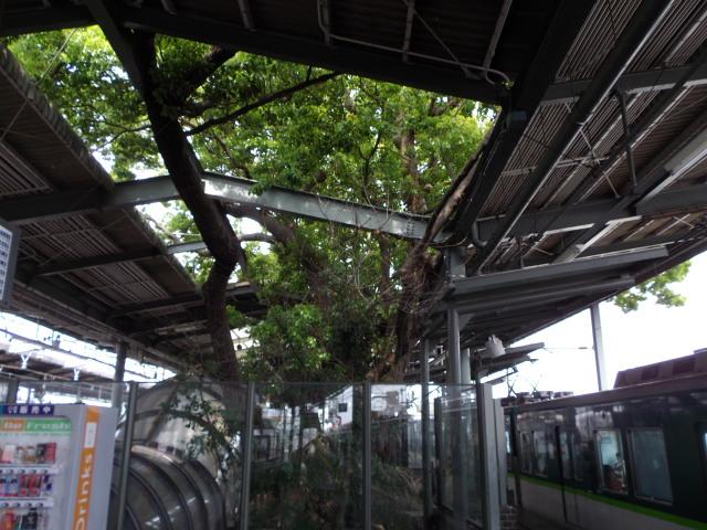 大木が突き抜ける駅_c0001670_22554252.jpg