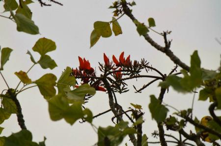 諸鈍のデイゴが咲き始めました!_e0028387_14561687.jpg