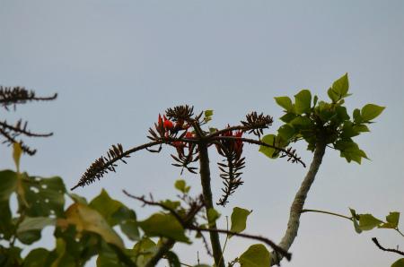 諸鈍のデイゴが咲き始めました!_e0028387_1456462.jpg