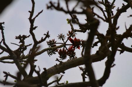 諸鈍のデイゴが咲き始めました!_e0028387_14564885.jpg
