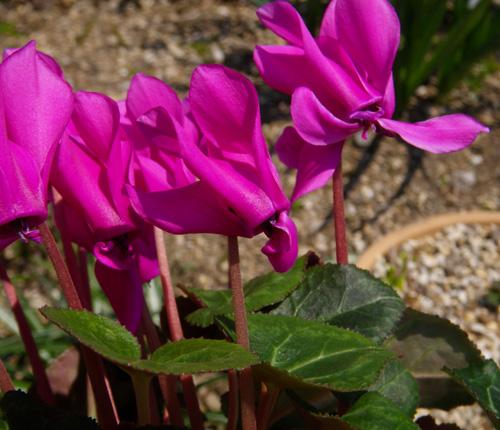 種から育てたミニシクラメンの花。 久しぶりの君子蘭など♪_a0136293_18424297.jpg