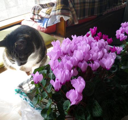種から育てたミニシクラメンの花。 久しぶりの君子蘭など♪_a0136293_18502270.jpg