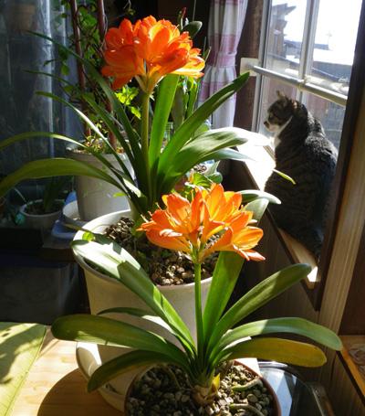 種から育てたミニシクラメンの花。 久しぶりの君子蘭など♪_a0136293_1853611.jpg