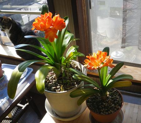 種から育てたミニシクラメンの花。 久しぶりの君子蘭など♪_a0136293_18592749.jpg