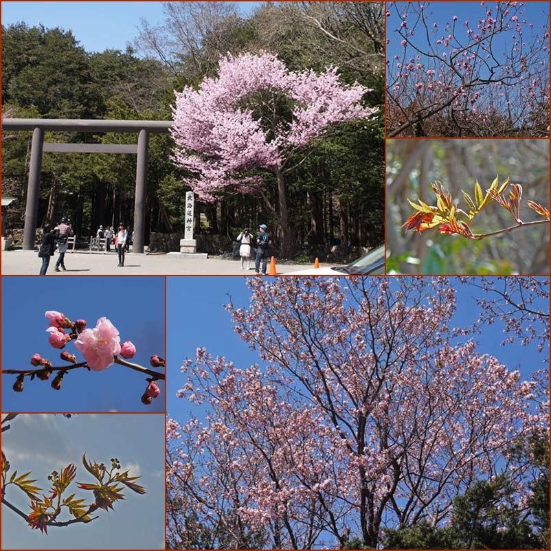 桜の開花  円山公園_d0162994_15403739.jpg