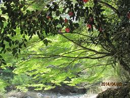 新緑と山椿_a0051297_805595.jpg