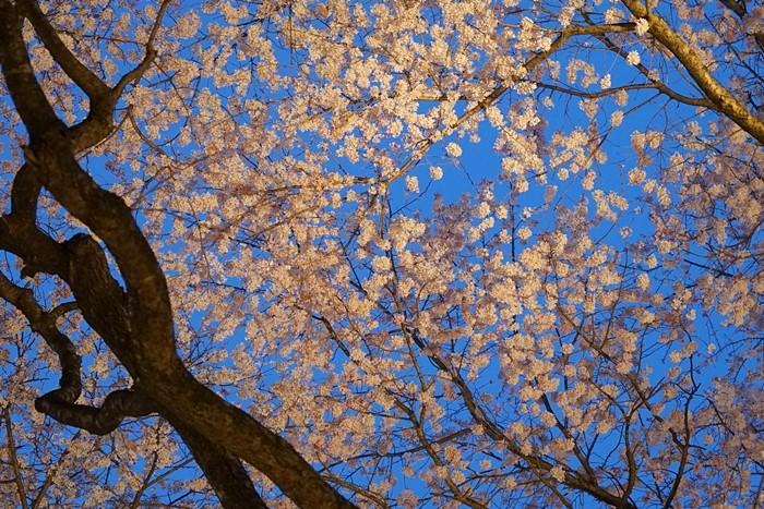 秩父宮記念公園 夜桜ライトアップ_b0145398_22422327.jpg