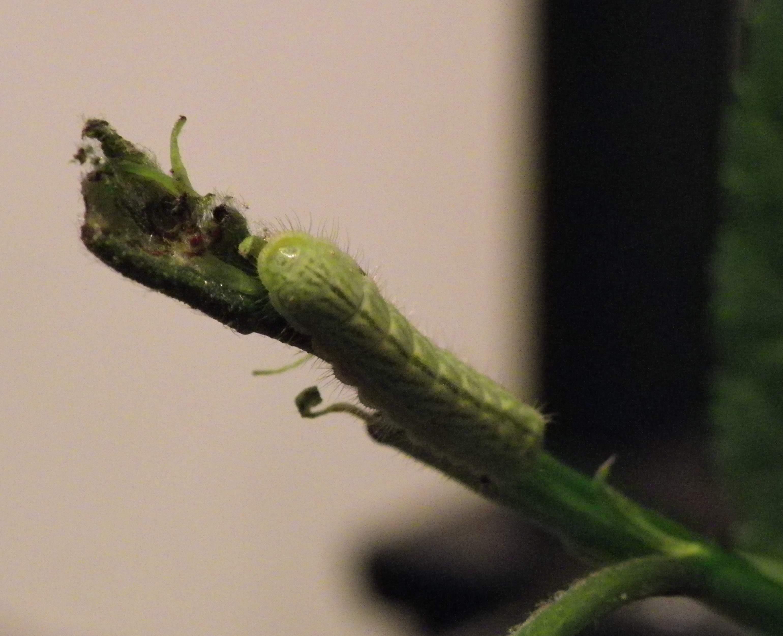 ミドリシジミの幼虫他_d0254540_19183576.jpg