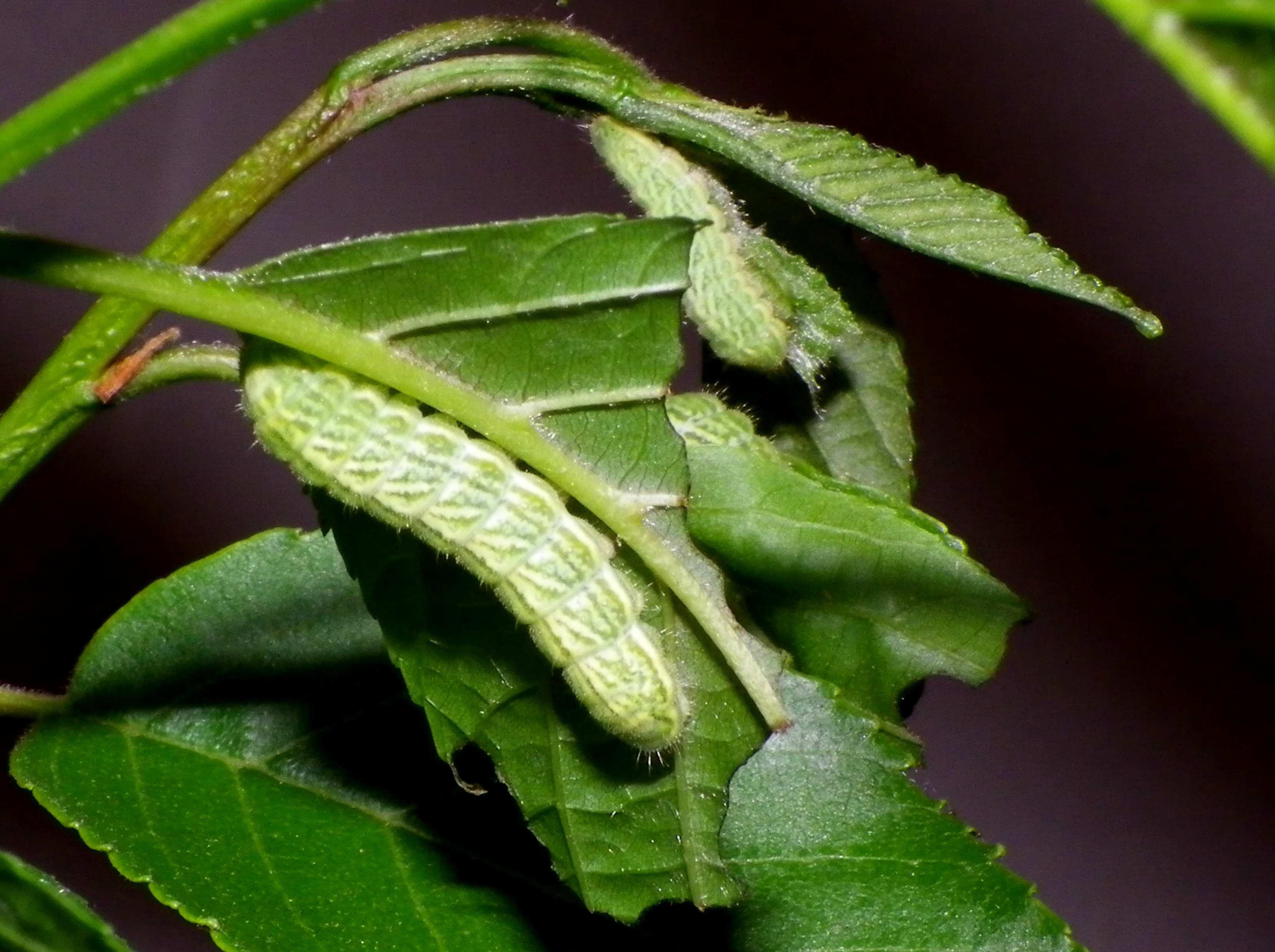 ミドリシジミの幼虫他_d0254540_19191155.jpg