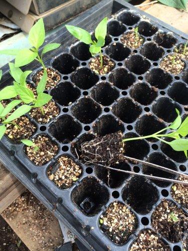 パプリカ達の鉢上げと・・・成長の遅いトマト達の鉢上げ・・ 定植後のナスやズッキーニ達_c0222448_13505441.jpg