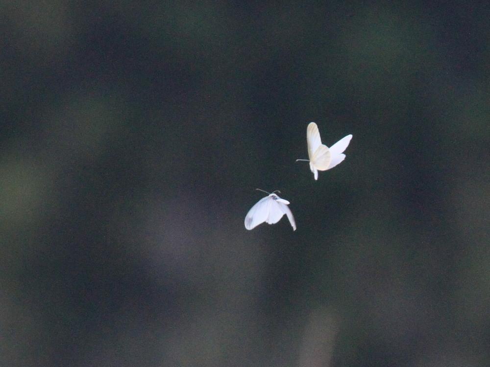 ヒメシロチョウ 望遠飛翔の練習に。 2014.4.26長野県 _a0146869_605187.jpg